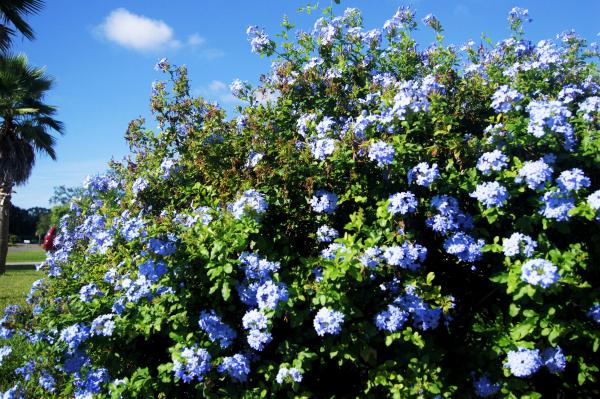 Plumbago blue...