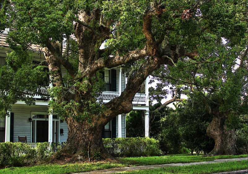 Focus on the old oak...