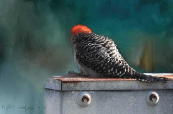 Woody Woodpecker...