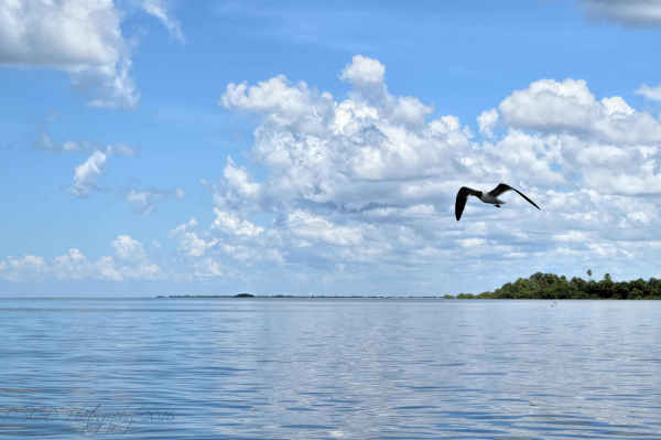 Gull over Pine Island...