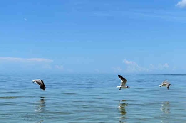 Laughing Gulls...