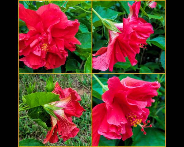 Hibiscus family...