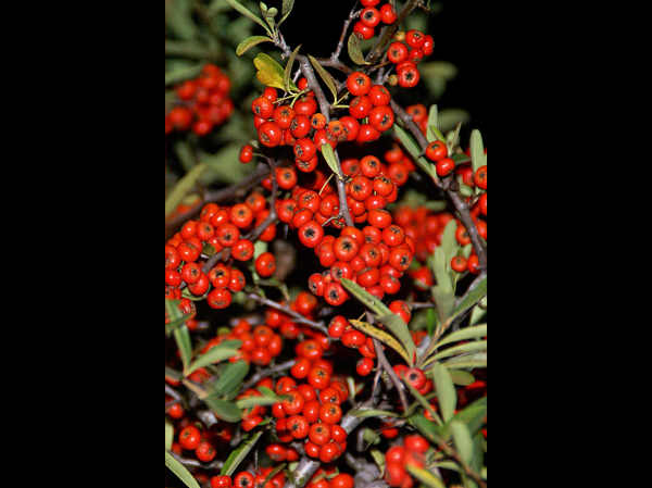 Pyracantha berries...