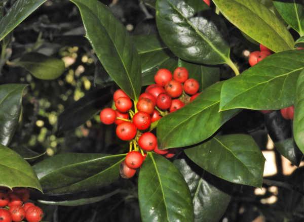 Holly in December...