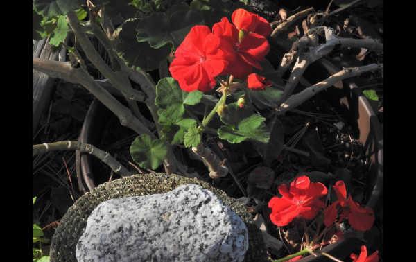 December geraniums...