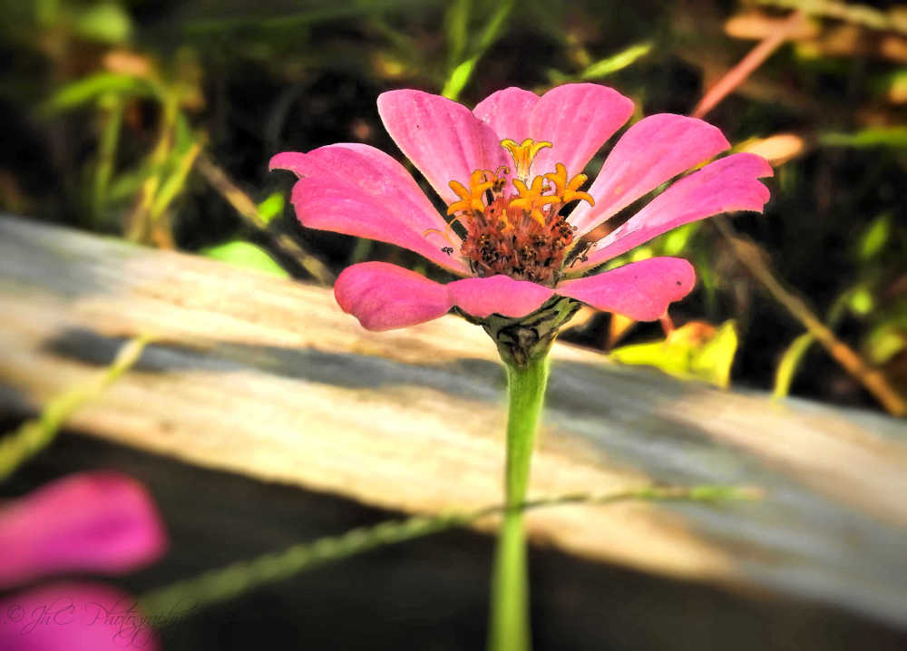 Last of the zinnias...