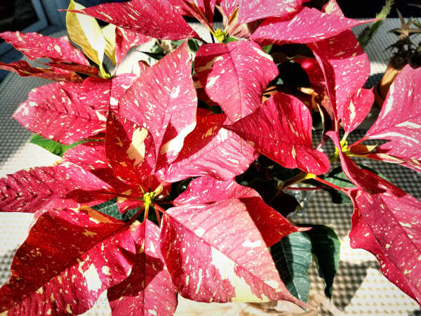 Poinsettia on the porch...