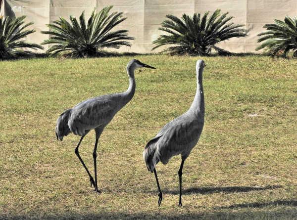 Sandhill cranes at the ranch...