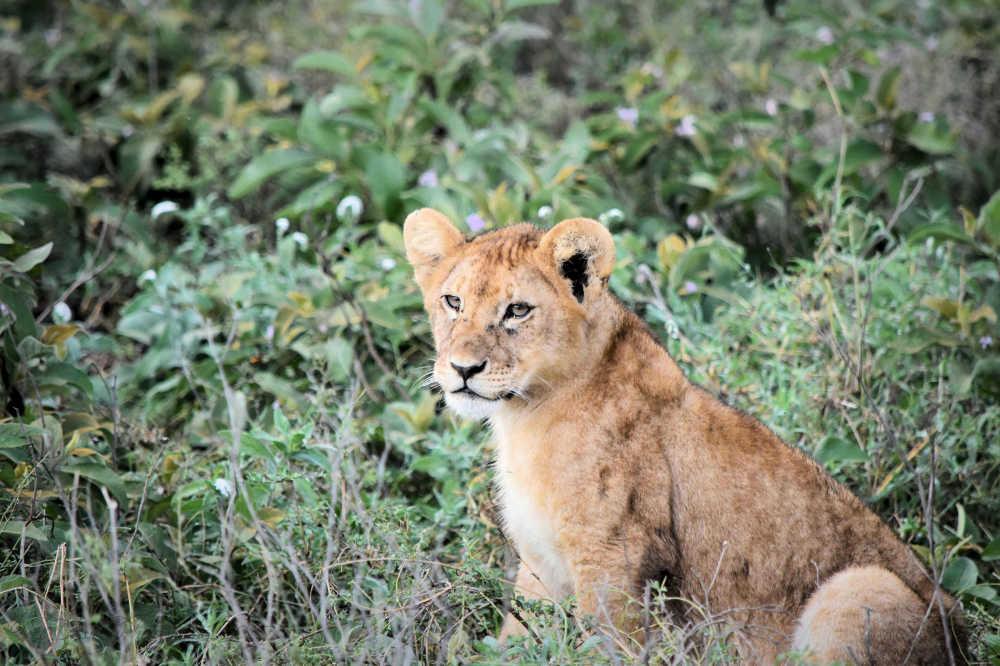 Lion in Tanzania...