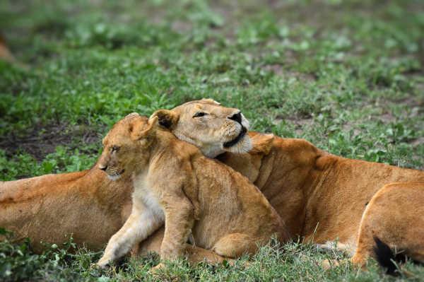 Lion study...