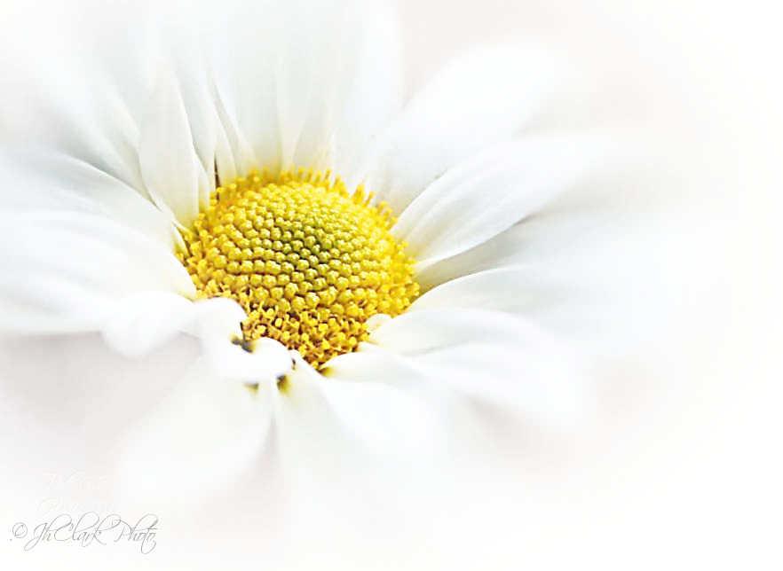 Favorite Daisy...