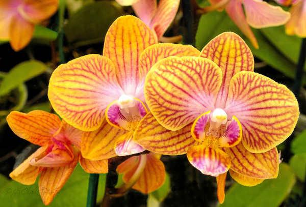Orange orchids...