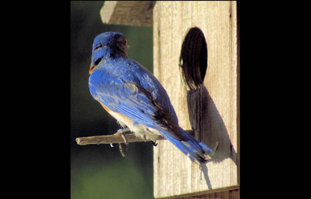 Bluebird from archives...