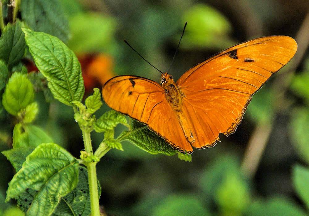Julia Heliconian Butterfly