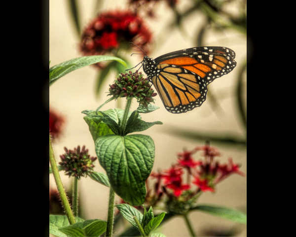 Soldier Butterfly...