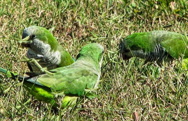 Wild green parrots...