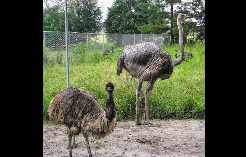 Four Emu 4 U...