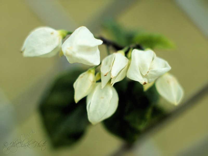 Delicate blossoms...
