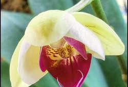 Everlast Orchid II