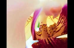 Everlast Orchid III