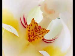 Everlast Orchid VI