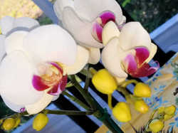 Last of the orchids...