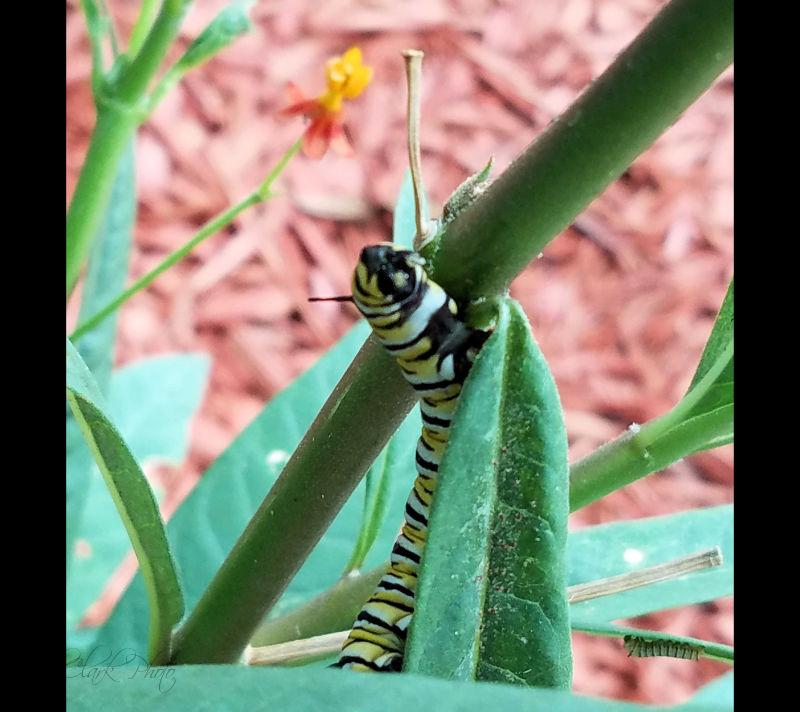 Milkweed for Monarchs!