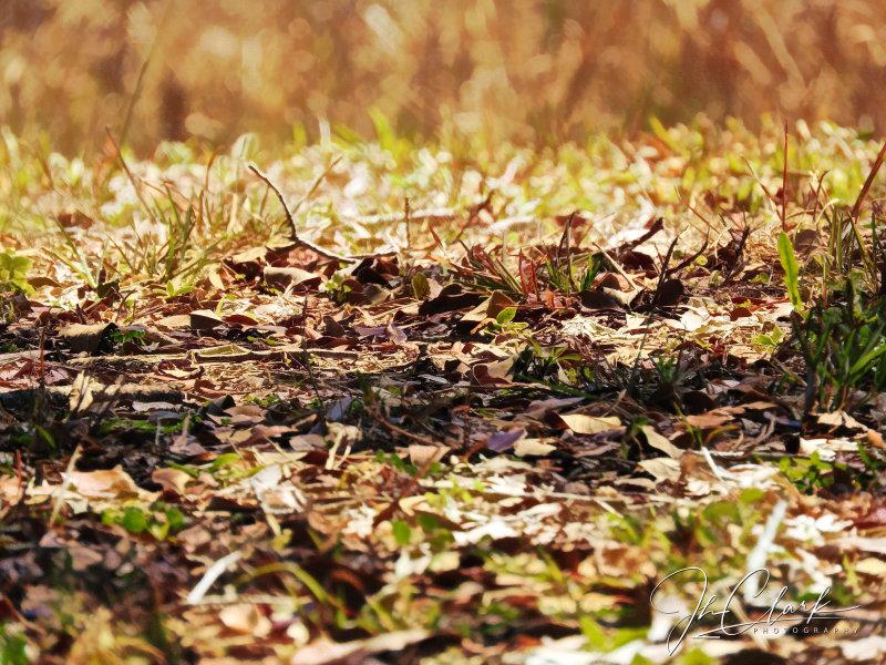 Florida oak leaves...
