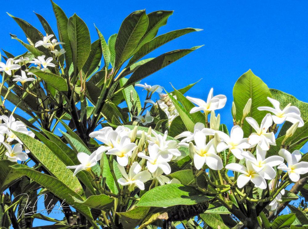 Pleasing Plumeria...