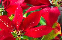 Poinsettias...