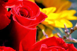 Sunday roses...