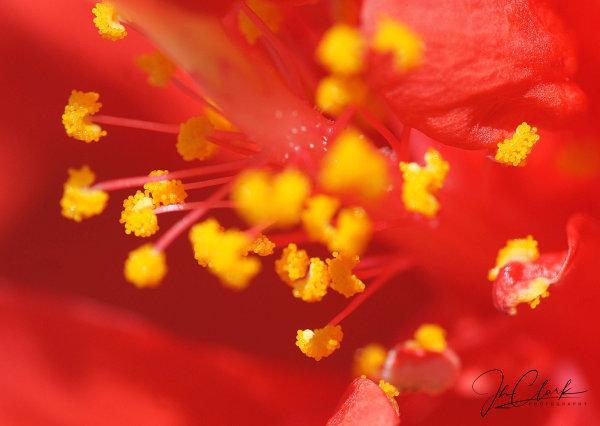 Hibiscus jewels...