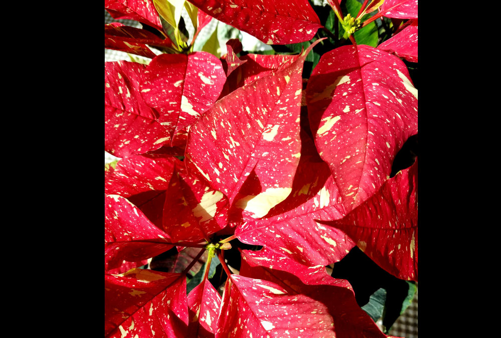 Poinsettias...
