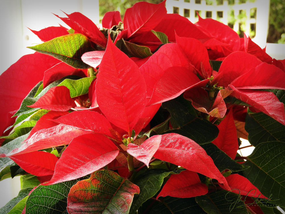Christmas poinsettias...