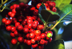 Holly berries for Christmas...