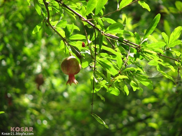 انار pomegranate