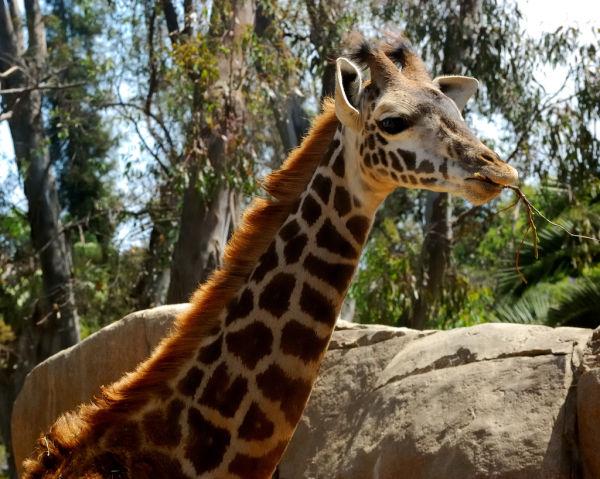 Giraffe Eating Lunch