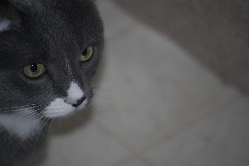 Jeeves Cat