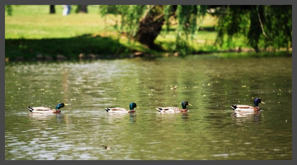 Ducks - Abbey Road