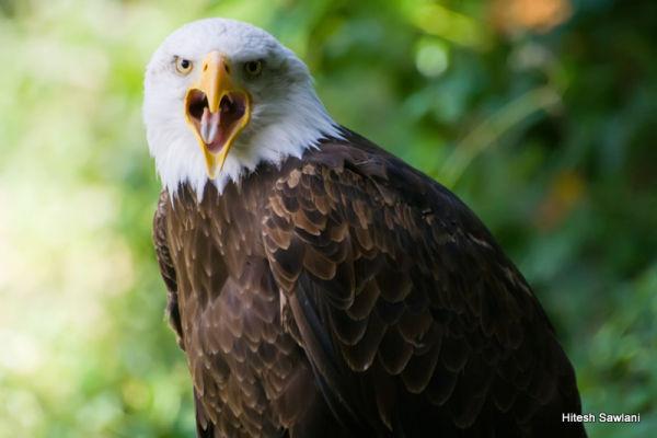 Bald Eagle Screams