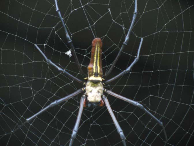 Seven inch spider