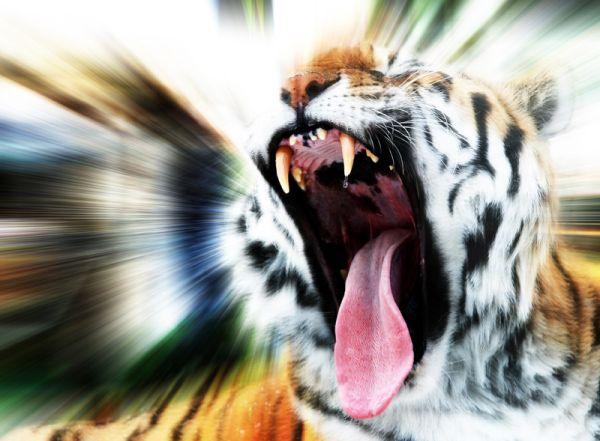 l'appel du tigre
