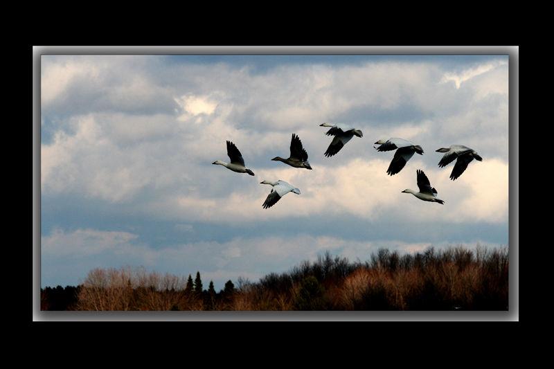 Les migrateurs