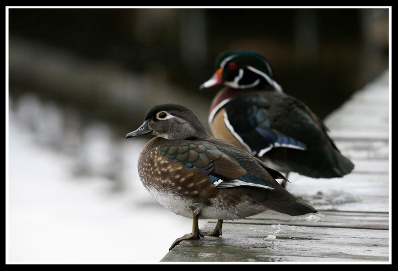 couple de canard branchu II