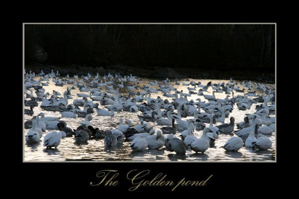 The golden pond