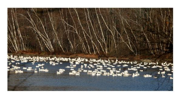 rassemblement d'oies blanches