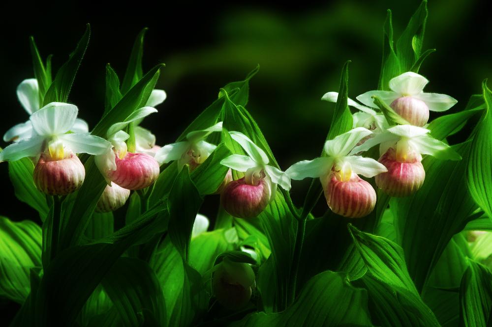 Orchidée du Quebec