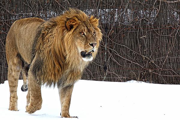 Lion dans la neige