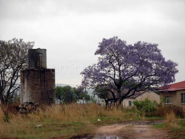 Jacaranda tree in bloom on farm