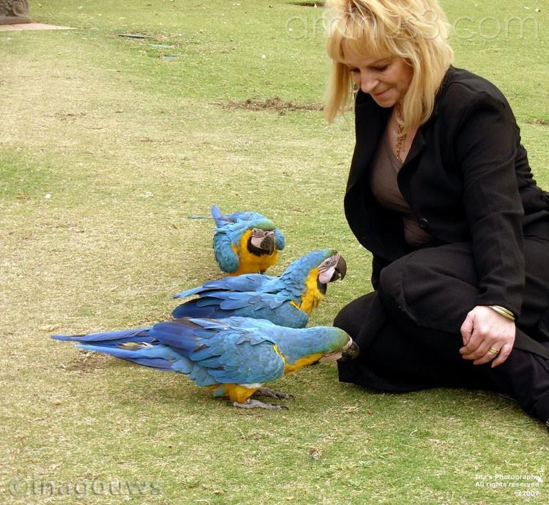 Three blue Baby macaws